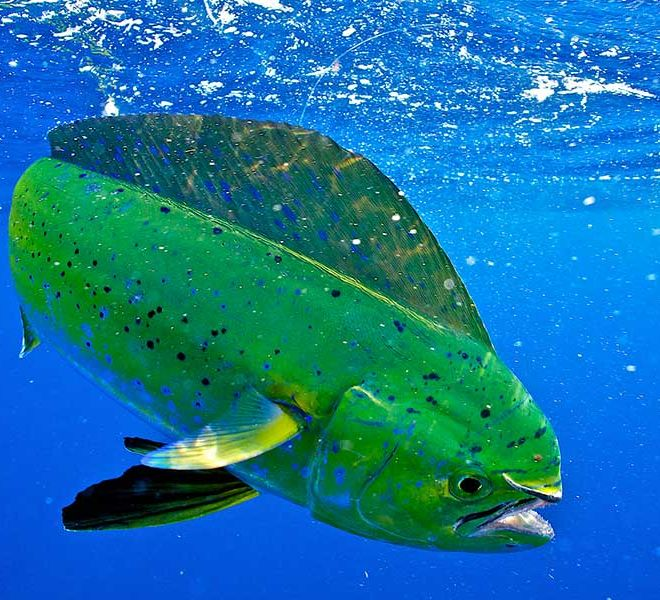 Texas Offshore Fishing Spots for Dolphin Mahi